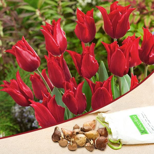 Tulip Pretty Woman (Red) - Bulbs (set of 5) - Nurserylive