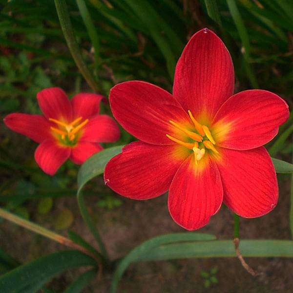 Zephyranthes Lily, Rain Lily (Red) - Bulbs (set of 10) - Nurserylive