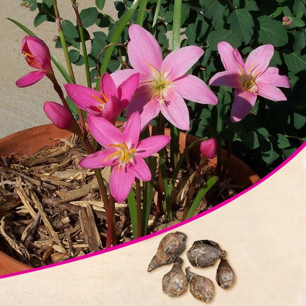 Zephyranthes Lily, Rain Lily (Pink) - Bulbs (set of 10)