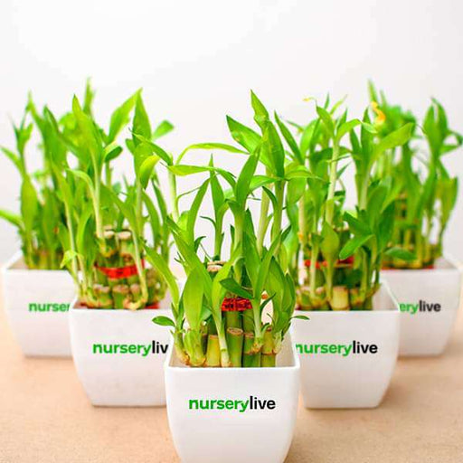 2 Layer Lucky Bamboo - Gift Pack (set of 30) - Nurserylive
