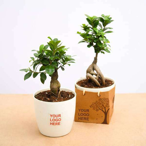 Fabulous Ficus Bonsai - Gift Pack (set of 30) - Nurserylive