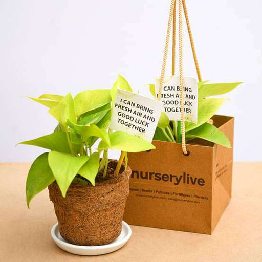 Golden Money Plant in Eco-friendly Pot - Gift Pack (set of 30) - Nurserylive