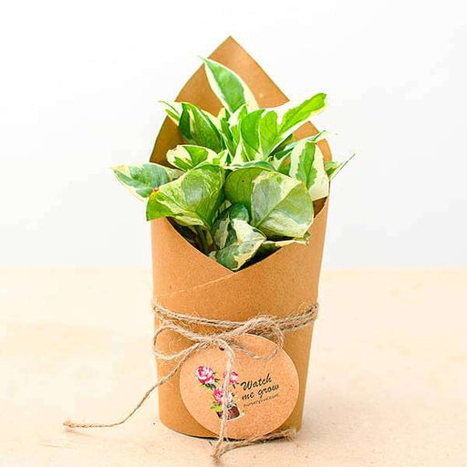 Money Plant Marble Prince in Paper Wrap - Gift Pack (set of 30) - Nurserylive