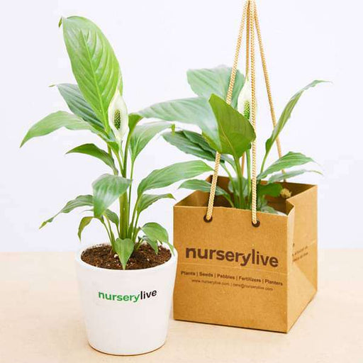 Peace Lily in Ceramic Pot - Gift Pack (set of 30) - Nurserylive