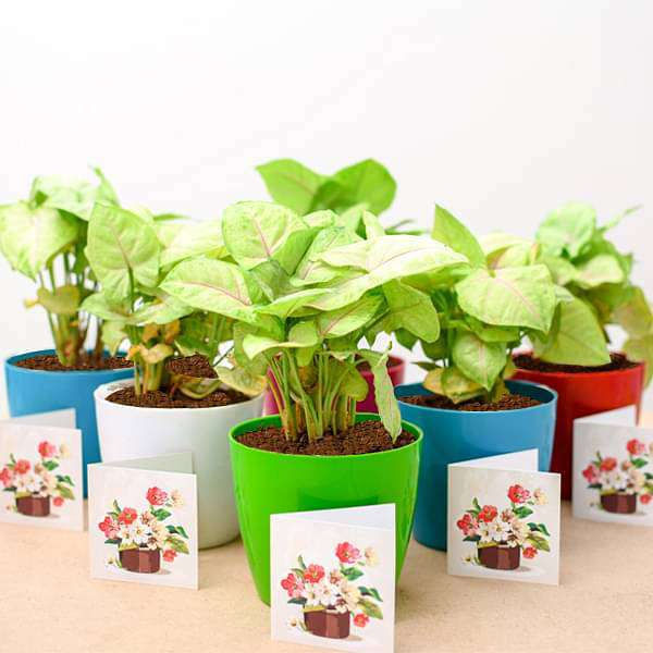 Syngonium Cream Allusion - Gift Pack (set of 30) - Nurserylive