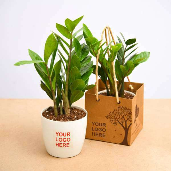 Buy Zamioculcas zamiifolia, ZZ Plant - Gift pack (set of 30) online from  Nurserylive at lowest price.