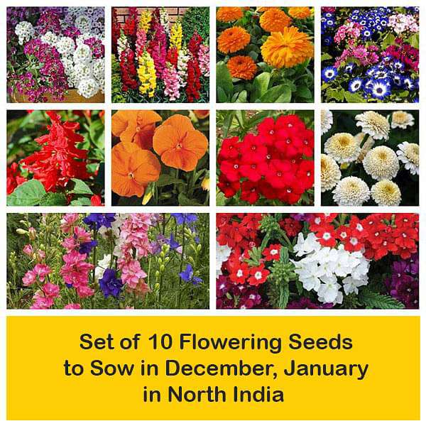 Set of 10 Flowering Seeds to Sow in December, January in North India - Nurserylive