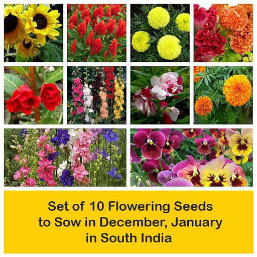 Set of 10 Flowering Seeds to Sow in December, January in South India - Nurserylive