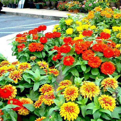 Set of 14 Attractive Zinnia Flower Seeds - Nurserylive
