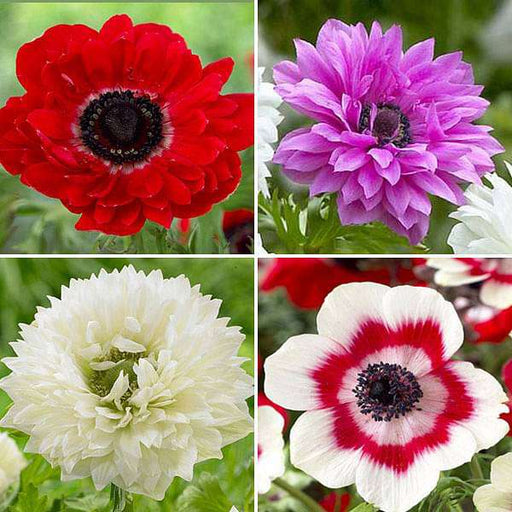 Attractive Anemones - 20 Bulbs Pack - Nurserylive
