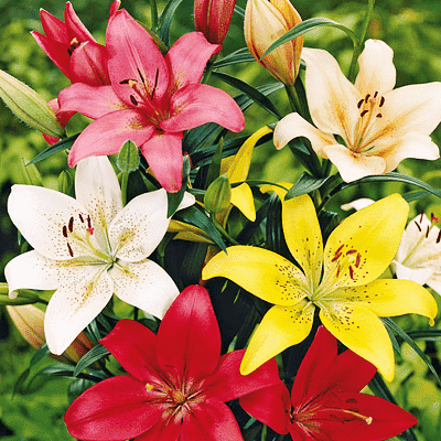 Awesome Asiatic Lilies - 30 bulbs Pack - Nurserylive
