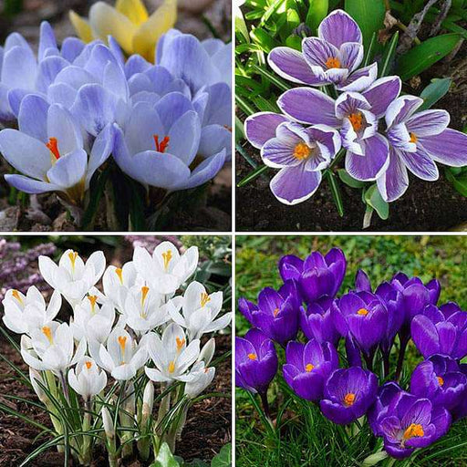 Charming Crocus - 20 Bulbs Pack - Nurserylive