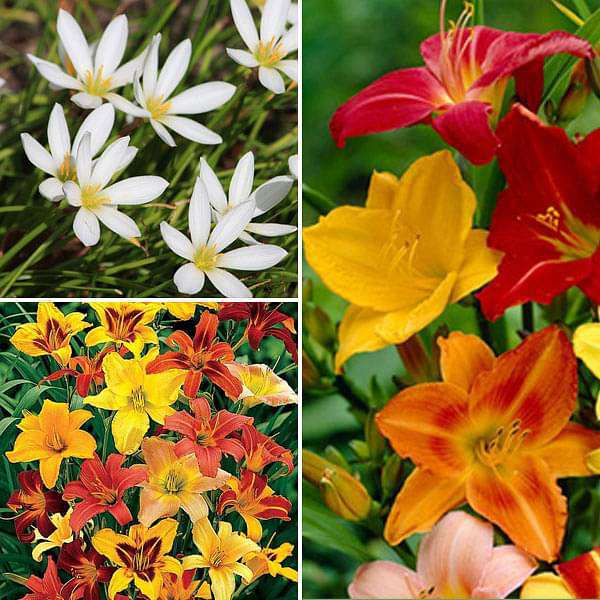Charming Summer Sowing Flower Bulbs - 30 Bulbs Pack - Nurserylive