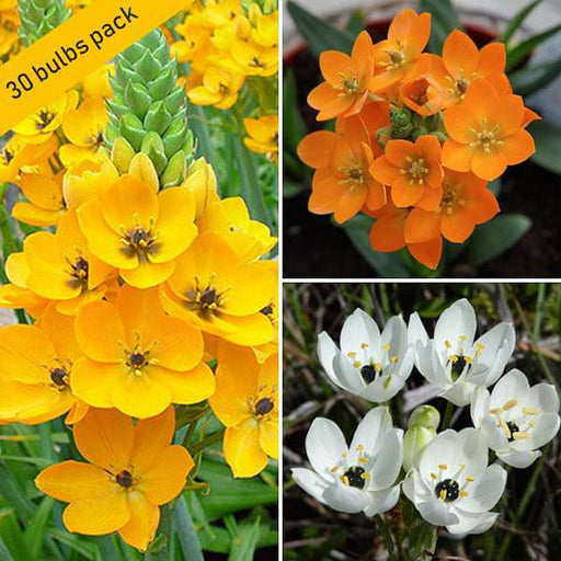 Cheerful Chincherinchee (30 Bulbs Pack) - Nurserylive