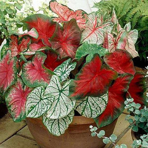 Classic Caladiums - 20 Bulbs Pack - Nurserylive