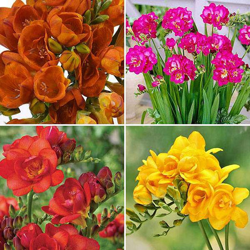 Fluorescent Freesia (20 Bulbs Pack) - Nurserylive