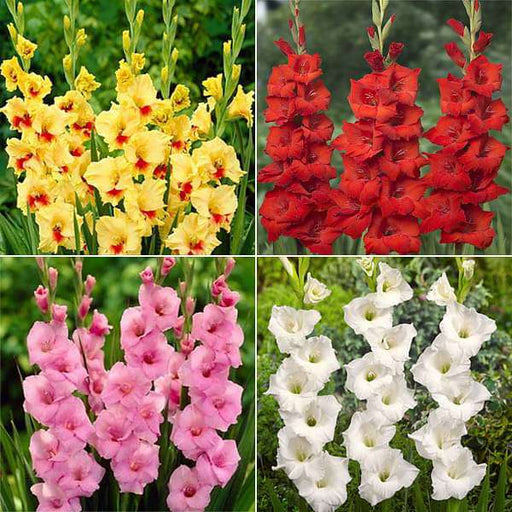 Glorious Gladiolus - 40 Bulbs Pack - Nurserylive