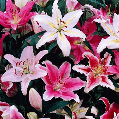 Graceful Oriental Lilies - 15 Bulbs Pack - Nurserylive