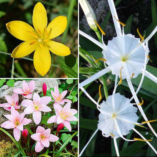 Lovely Lilies - 30 Bulbs Pack - Nurserylive