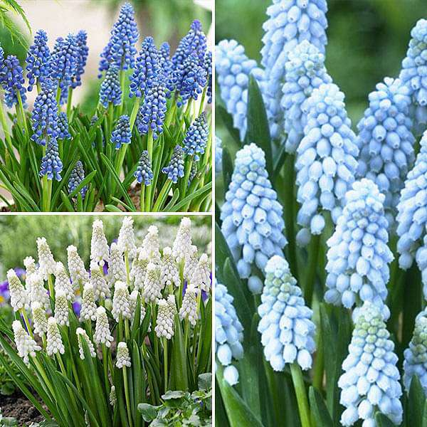 Muscari, Grape Hyacinth - (15 Bulbs Pack) - Nurserylive