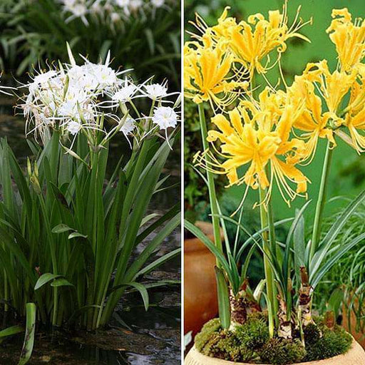 Pleasant Spider Lily - 20 Bulbs Pack - Nurserylive