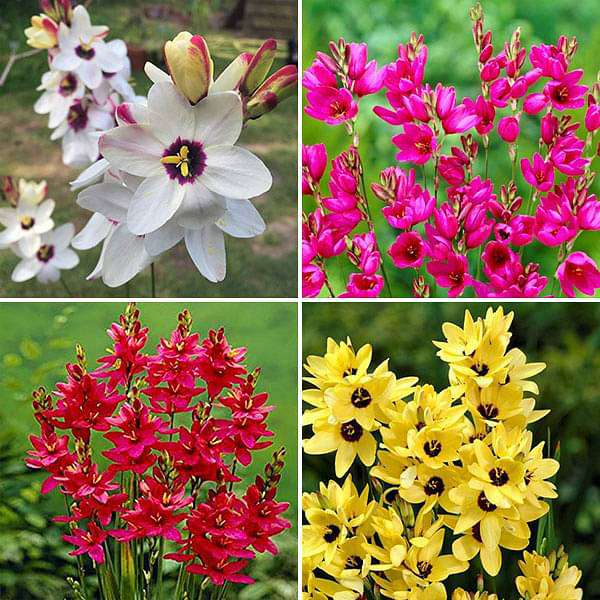 Serene Ixia (20 Bulbs Pack) - Nurserylive