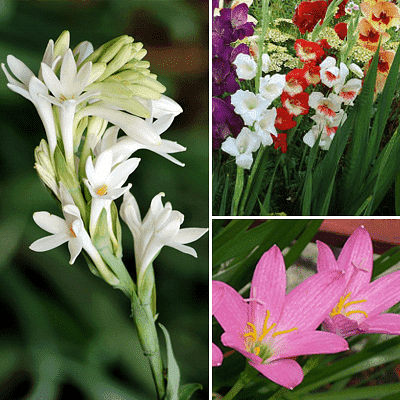 Year Round Bulbs ( 30 Bulbs Pack) - Nurserylive