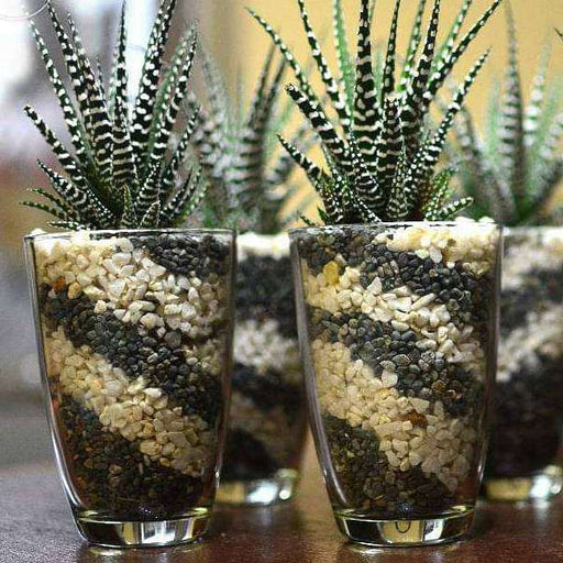 Pebbles Art for Succulents in Glass Terrarium - Nurserylive