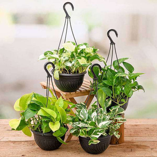 4 Money plants in hanging baskets - Nurserylive