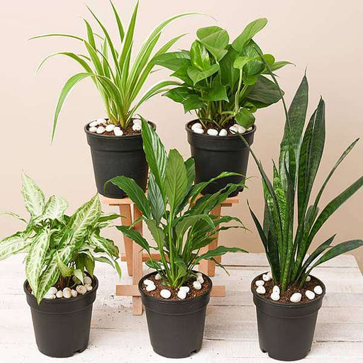 5 Best Indoor Plants Pack - Nurserylive