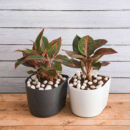 Aglaonema Plants in D Shape Plastic Pots - Nurserylive