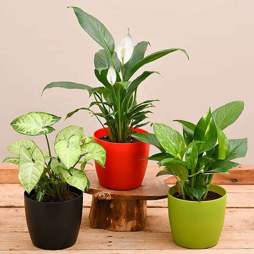Air Purifying Indoor Plants for Office Desk - Nurserylive