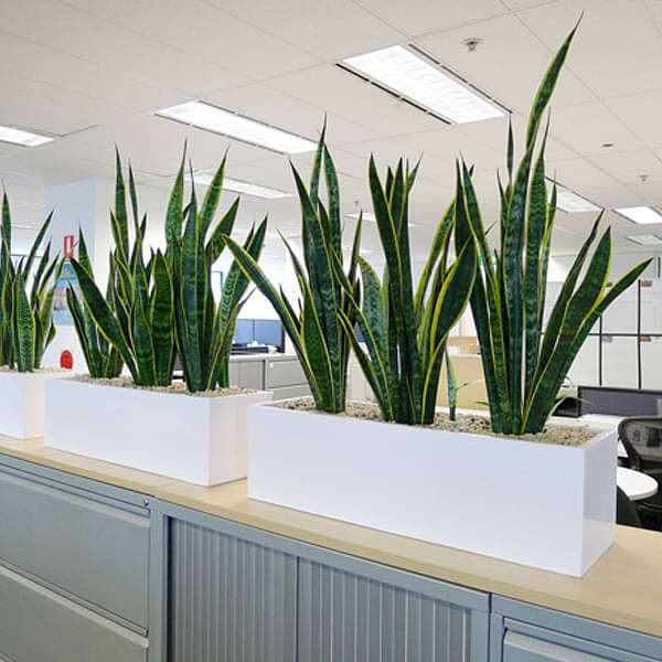 Air purifying snake plants for office furnishing - Nurserylive