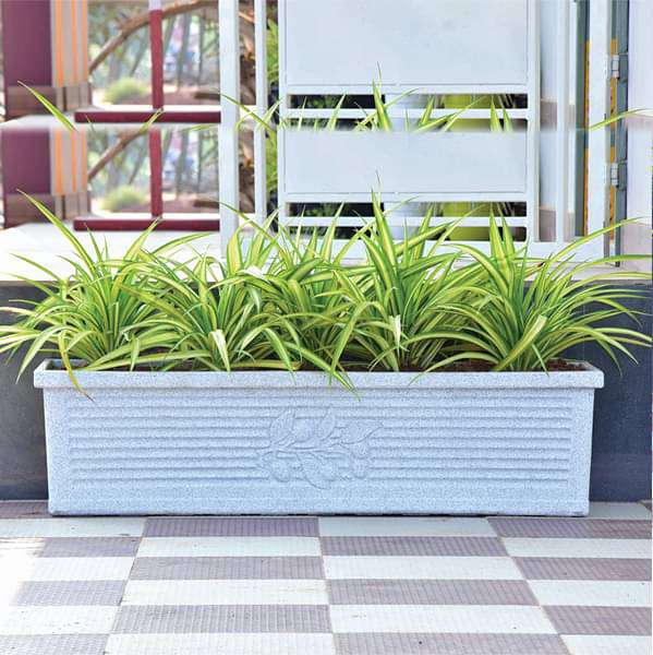 Amazing Pandanus plants for office premises - Nurserylive