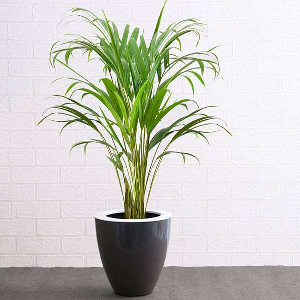 Areca palm for office corner - Nurserylive