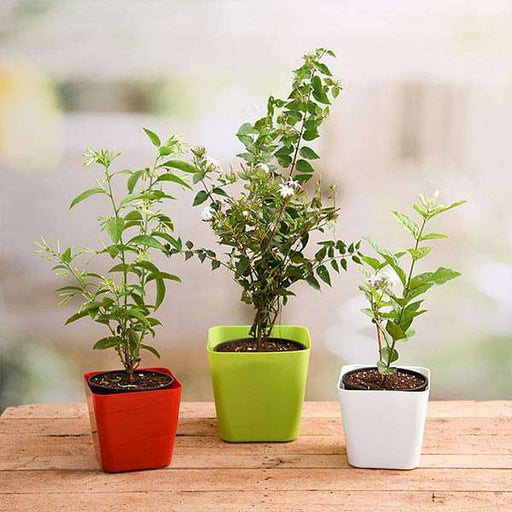 Best 3 Aromatic Plants Pack - Nurserylive