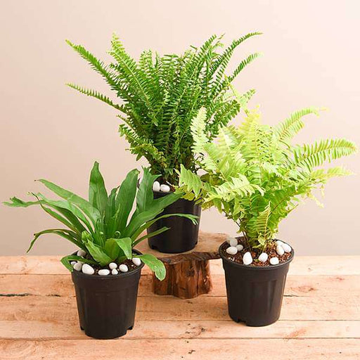 Best 3 Ferns for Indoor Plant Decor - Nurserylive
