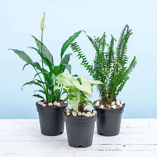 Best 3 Indoor Pollution Killer Plants Pack - Nurserylive
