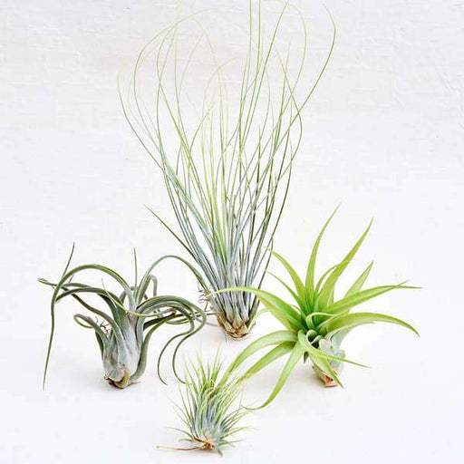 Best 4 Classic Air Plants Pack - Nurserylive