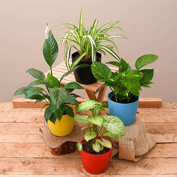 Best 4 plants to Kill Indoor Pollution - Nurserylive