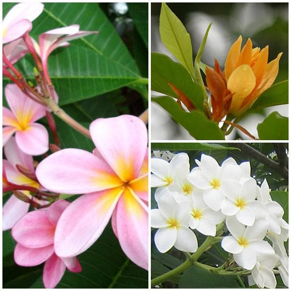 Charming Champa (Pack of 3 ) Plants