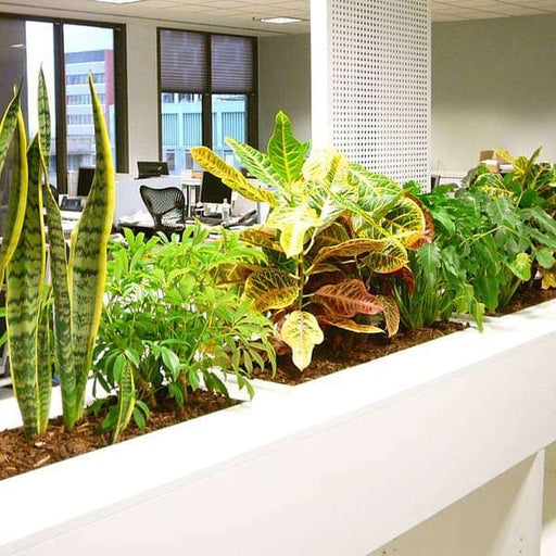 Colorful foliage garden for office cubicals - Nurserylive