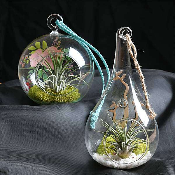 Combo of 2 Air Plants with Mesmerizing Elements - Nurserylive