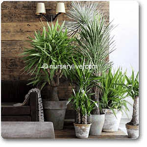 Cozy 2BHK (Economy) Plant Decor Pack - Nurserylive