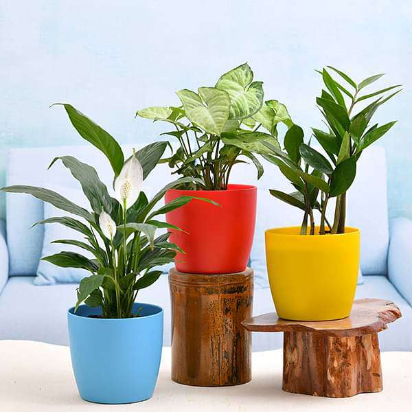 Cute Shade Loving Indoor Plants for Office - Nurserylive