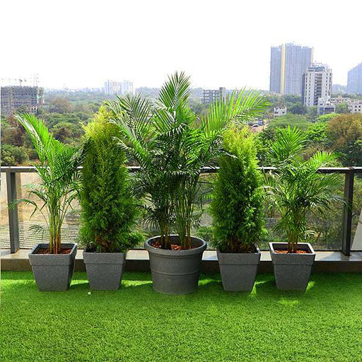 Evergreen Plants for Terrace Garden - Nurserylive