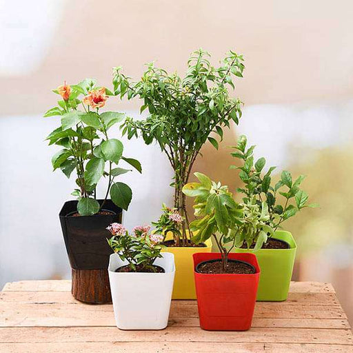 Happy Holi Colorful Plants Pack - Nurserylive