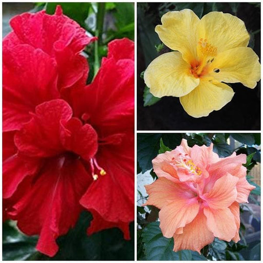 Hibiscus (Pack of 3) - Plant - Nurserylive
