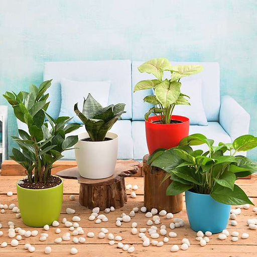 Independence Day Special (4 Plants Pack) - Nurserylive