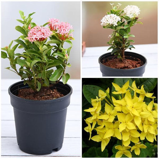 Ixora  (Pack of 3) - Plants - Nurserylive